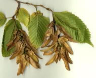 Carpinus_fruit